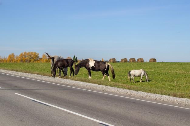 Cavalli di diversi colori, bianchi e neri, pascolano su un prato verde lungo la strada