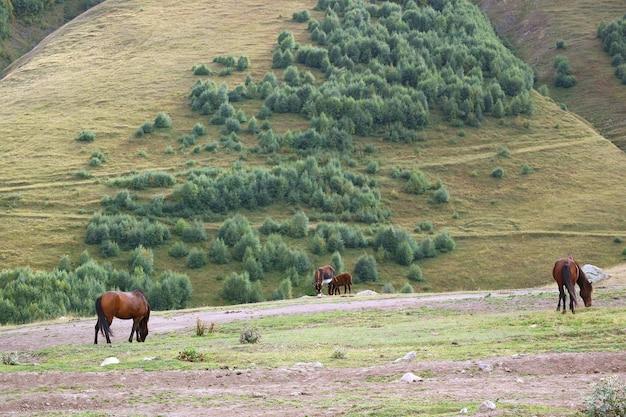 Cavalli e asini al pascolo nel campo delle colline pedemontane del caucaso