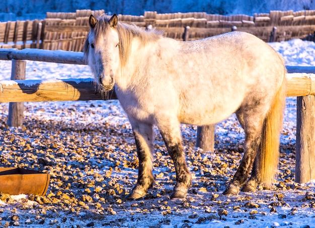 Cavalli in una fattoria nella gelida sera d'inverno al tramonto