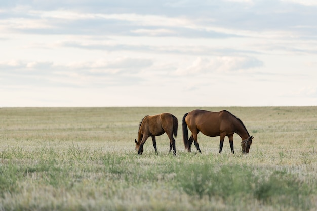 I cavalli pascolano in un bellissimo campo