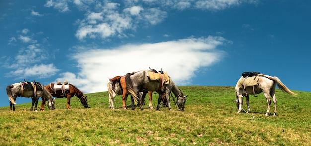 I cavalli pascolano sulla collina