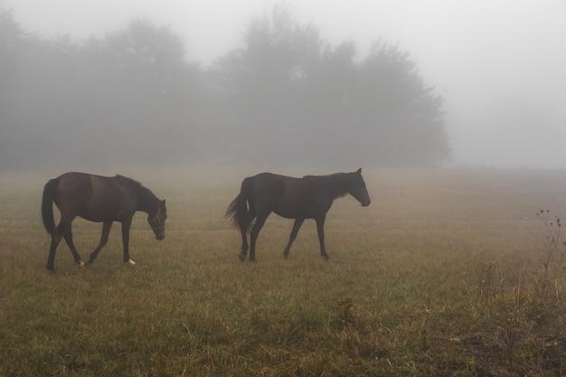 Cavalli al pascolo in un prato nella nebbia, animali e natura