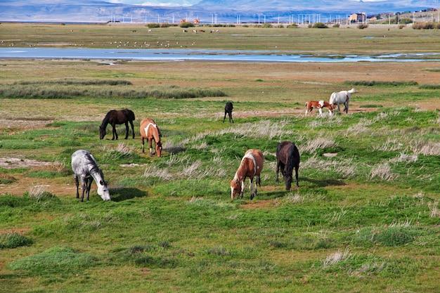 Cavalli sul lago argentino a el calafate, patagonia, argentina