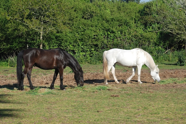 Cavalli in un prato in bretagna