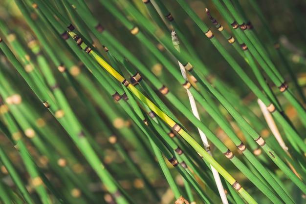 L'erba di equiseto cresce alla luce del sole. gambi uniti della fine dell'erba del puzzletail in su. equiseto verde alla luce soleggiata sulla natura del bokeh. struttura naturale dettagliata luminosa dell'erba di serpente con lo spazio della copia.