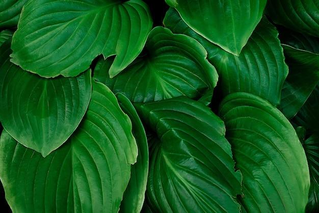 Hosta, una pianta ombrosa con un bel fogliame. piano medio