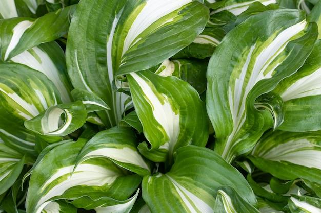 Hosta undulata è una cultivar del genere hosta. piante ornamentali ai bordi. struttura della foglia, fondo delle foglie a strisce larghe verdi. carta da parati natura.
