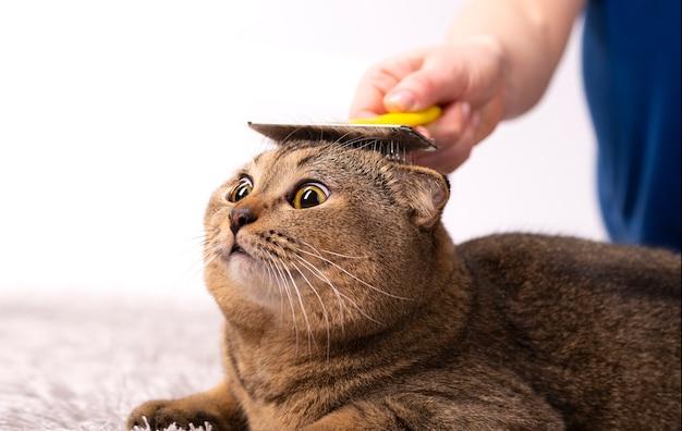 La padrona di casa sta pettinando il pelo di un gatto marrone scozzese. toelettatura del gatto, veterinaria.