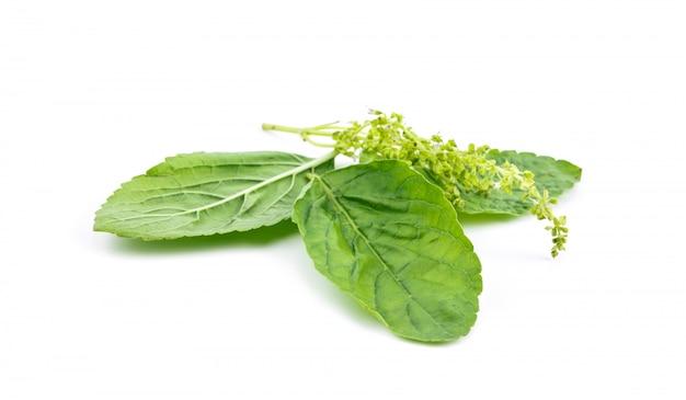 Il basilico caldo lascia la pianta dell'erba del medicinale e l'ingrediente favorito degli alimenti tailandesi