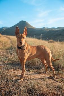 Hound dog in montagna