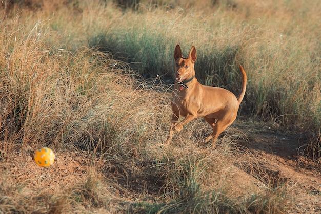 Hound dog giocando con la palla