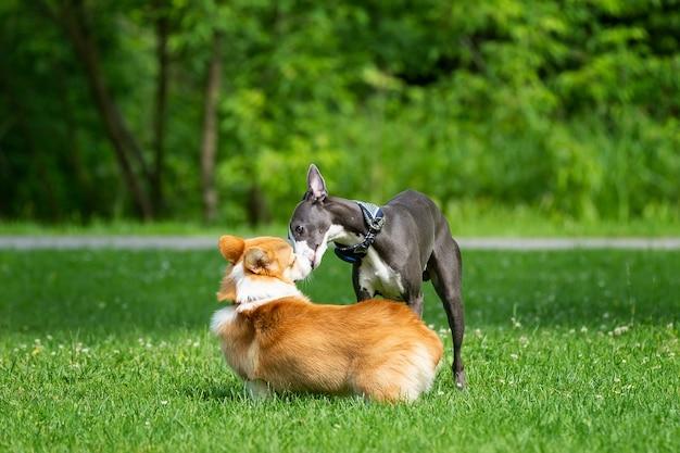 Hound greyhound e corgi camminano nel parco