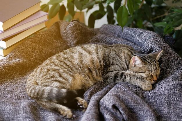 Il gatto di casa giace e dorme su una coperta lavorata a maglia, comodamente raggomitolata. foto colorata.