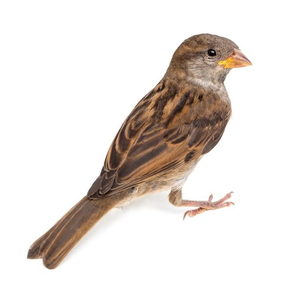 House sparrow contro lo spazio bianco