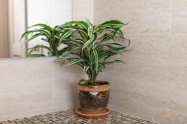 Pianta da appartamento dracaena sul bancone del bagno. un riflesso specchio è in vista. concetto di arredamento per la casa. immagine orizzontale