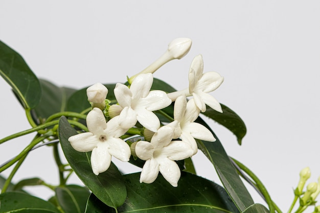 Il fiore di stephanotis del gelsomino della pianta d'appartamento sboccia su un fondo bianco