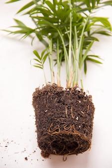Concetto di trapianto di piante d'appartamento. palma da vicino con terra