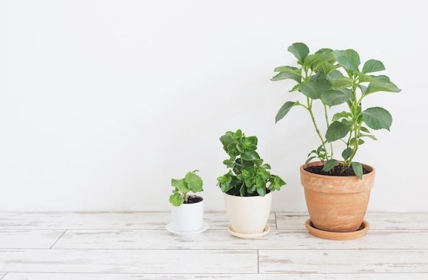 Piante d'appartamento in vaso sul pavimento di legno bianco sulla parete bianca del fondo