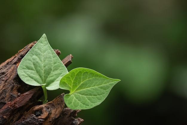 Houttuynia cordata o alberi di plu kaow e foglie verdi sulla natura.