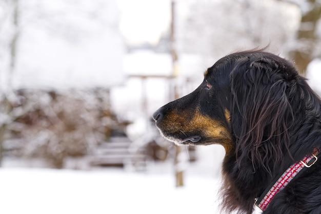 Cane hovawart sta camminando in una giornata invernale sulla neve. germania cane da guardia di razza