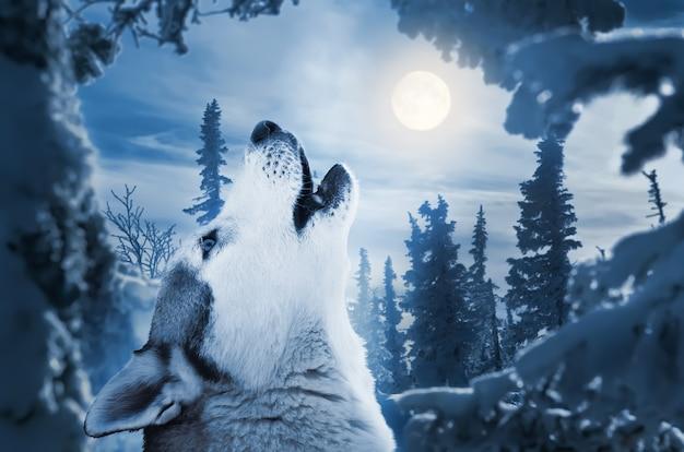 Ululando alla luna foresta invernale