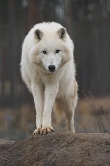 Lupo maschio artico enorme molto vicino