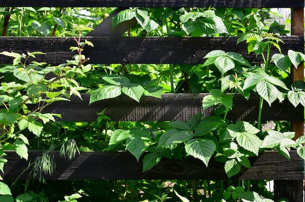 Un grande cespuglio di lamponi cresce accanto al recinto di legno del giardino del villaggio.