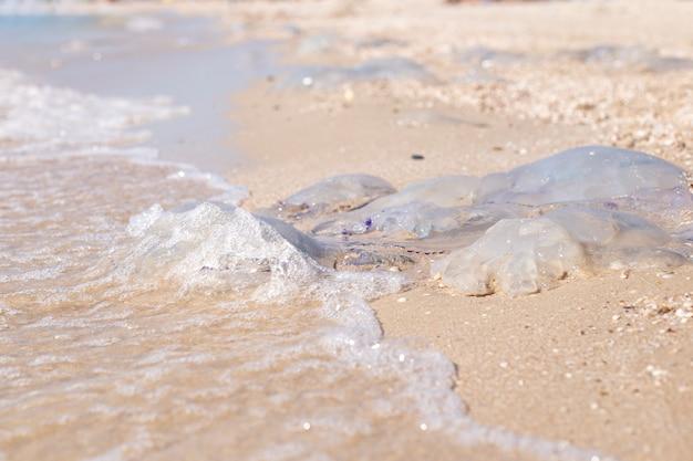 Enormi meduse sono lavate da un'onda su una spiaggia sabbiosa. invasione di meduse.