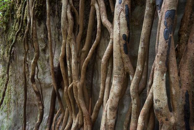 Enormi radici di alberi secolari nella foresta amazzonica brasiliana