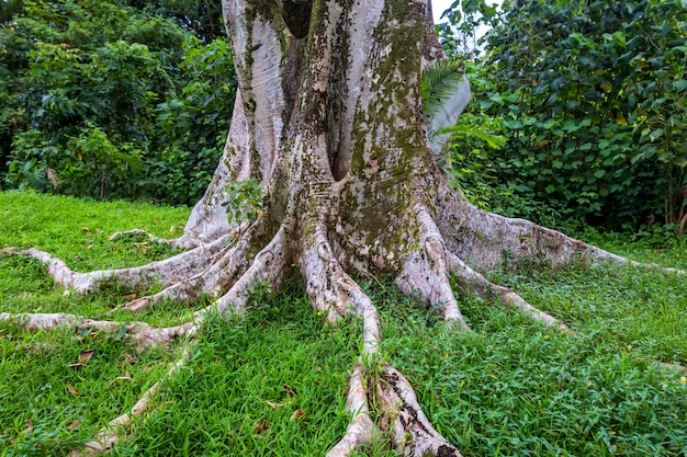 Albero enorme con grandi possenti radici nella foresta tropicale di oahu, hawaii