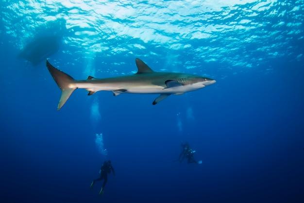 Un enorme squalo bianco nell'oceano blu nuota sott'acqua