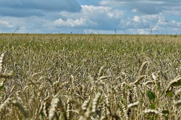 Enorme campo di grano giallo e cielo blu