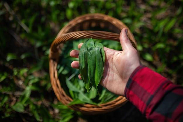 Mano umana che tiene foglie colte di buckram nella natura primaverile.
