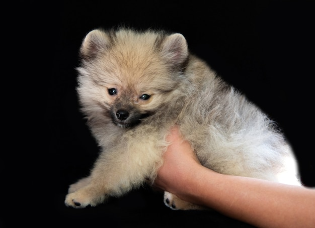 Le mani umane tengono in mano un soffice cucciolo di spitz grigio su sfondo nero, la sua testa si gira verso la telecamera e guarda la telecamera