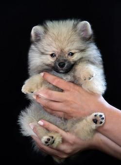 Le mani umane tengono in mano un soffice cucciolo di spitz grigio su sfondo nero, il cucciolo guarda la telecamera