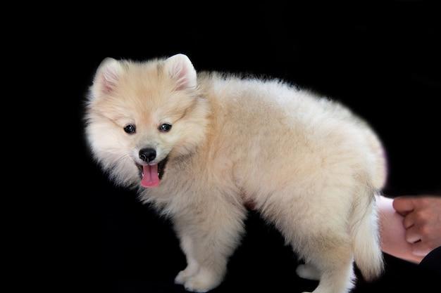 Le mani umane tengono un soffice cucciolo di spitz bianco su sfondo nero, il cucciolo è in piedi e guarda la telecamera e mostra la lingua