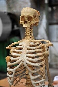 Uno scheletro umano, un manichino da addestramento.