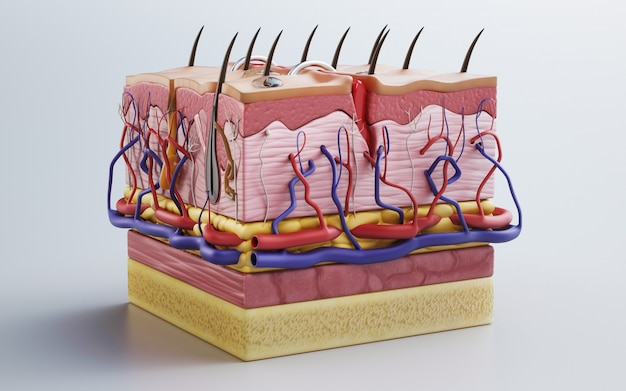 Pelle umana, struttura della pelle, grasso corporeo. rendering 3d