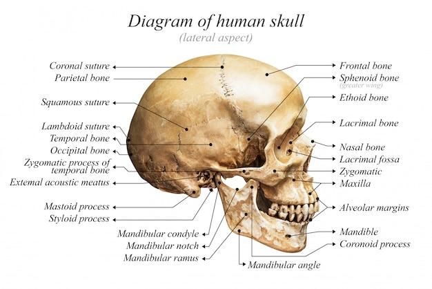 Diagramma del cranio umano