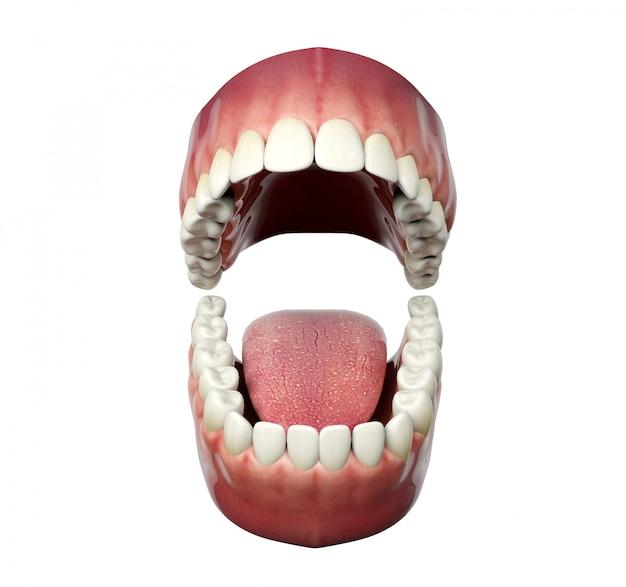Apertura umana dei denti isolata su fondo bianco, rappresentazione 3d