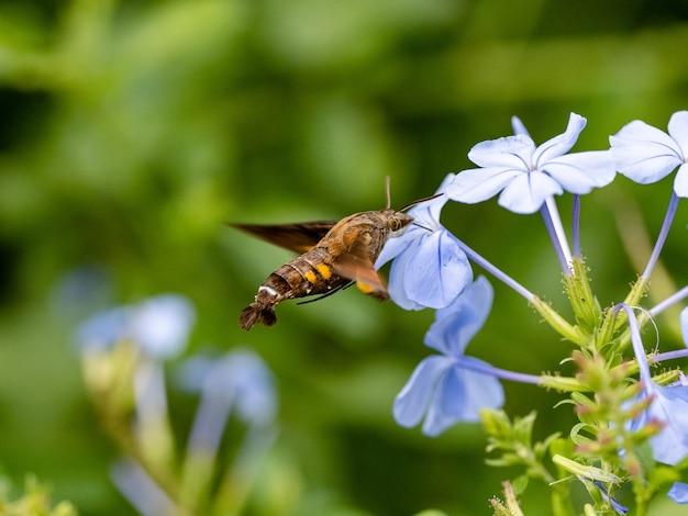 Hummingbird hawk-moth si nutre di fiori lungo un fiume a yamato, kanagawa, giappone