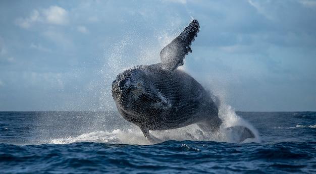 La megattera salta fuori dall'acqua. bellissimo salto. . madagascar. isola di santa maria.