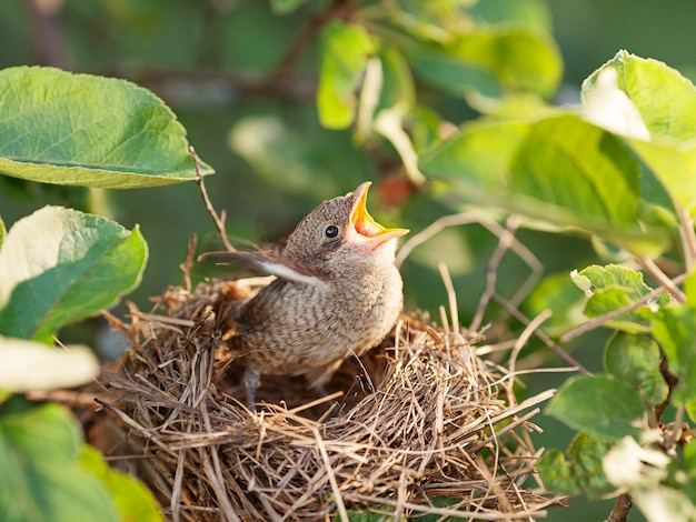 Uccellino affamato e abbandonato di common whitethroat in attesa di sua madre nel nido