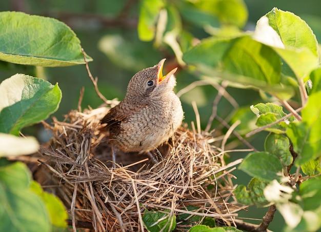 Uccellino affamato e abbandonato in attesa di sua madre nel nido
