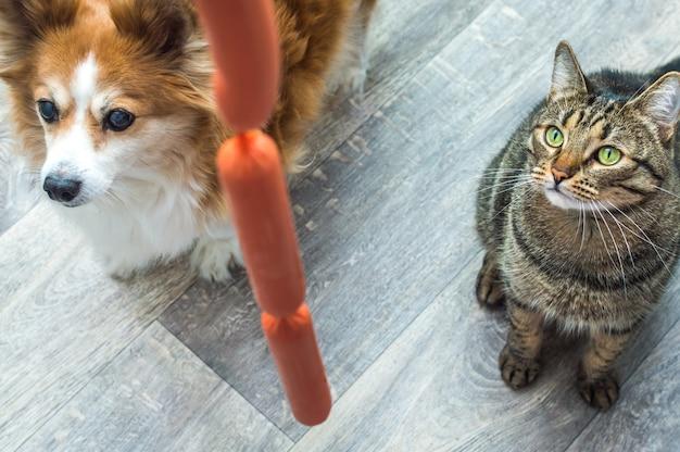 Cane e gatto affamati guardano una salsiccia