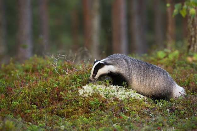 Tasso europeo affamato che fiuta mirtilli rossi di montagna e licheni bianchi nella foresta