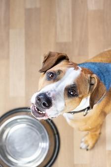 Il cucciolo affamato si siede sul pavimento vicino alla ciotola del cibo vuota e chiede cibo. simpatico cane staffordshire terrier alzando lo sguardo e aspettando dolcetti