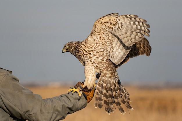 Uccello da caccia a caccia di un astore, accipiter gentilis. astore sulla mano del cacciatore