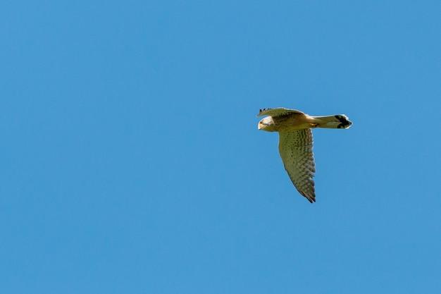 Comune di caccia gheppio falco tinnunculus volare sotto il cielo blu nel parco di eastbrookend a dagenham, inghilterra