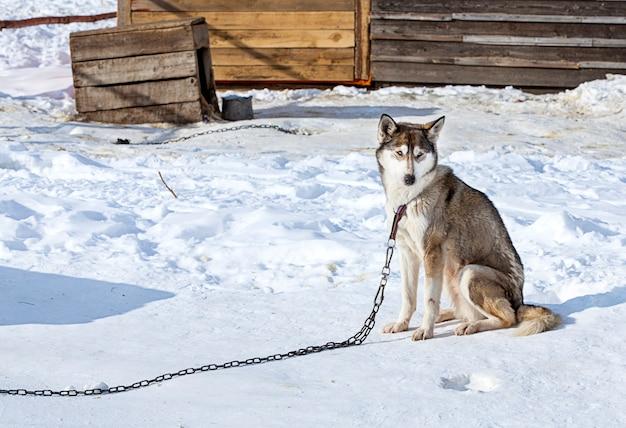 Husky in vivaio per cani in inverno